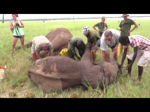 Vets Treating An Injured Elephant Calf