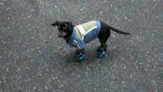 Funny, Hilarious video of our Dog Molly wearing walking in shoes for the first time