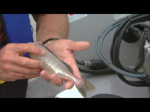 How to clean panfish  Csf 24 21 Tip 5