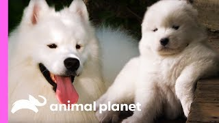 Fussy Samoyed Puppy Makes An Unlikely New Best Friend   Too Cute! by Animal Planet