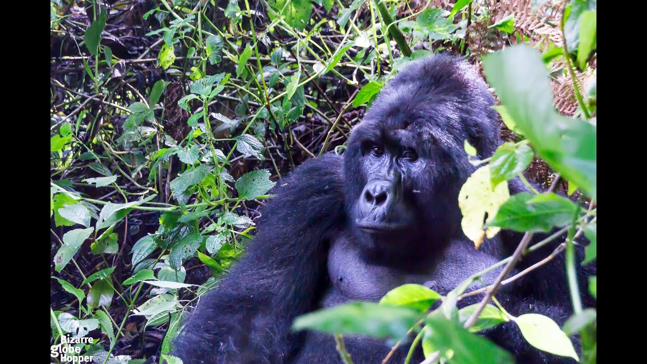Gorilla Trekking in Bwindi Impenetrable Forest, Uganda