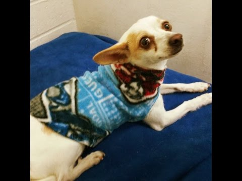 From Skittish To Loving : Gaby 4 year Female Chihuahua | Adopt Rescue Or Foster