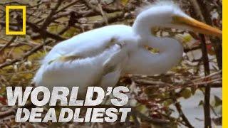 World's Deadliest - Piranhas Devour Chick