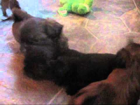 Shih tzu puppies for sale, Adorable shih tzus playing