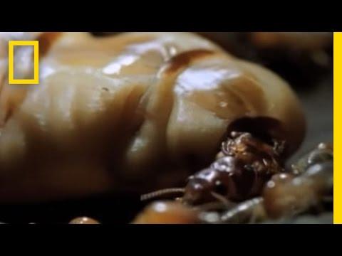 恐怖白蟻!白蟻皇后驚人的繁殖能力!
