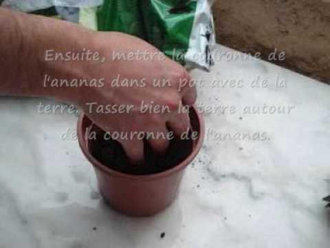 Comment faire pousser un ananas.