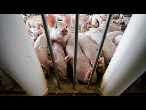 Bulgarien: Ministerpräsident Borissow beschuldigt Rumänen wegen der Schweinepest