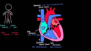 Kalp nasıl çalışır?