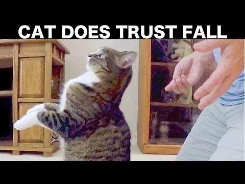 Cute Video: Cat Trust Falls Into Owner's Lap