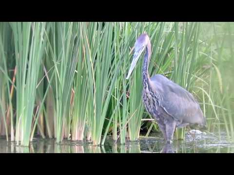 Heron swallows massive catfish whole