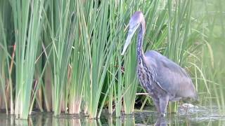 Video Heron swallows massive catfish whole MP3, 3GP, MP4, WEBM, AVI, FLV Agustus 2017
