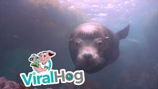Sea Lion Attacks Camera Underwater
