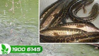 Thủy sản | Đột phá mới từ kinh nghiệm nuôi cá chuối của người thành công