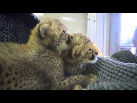 Cheeta   nmctoastmasters