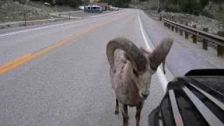 The Bighorn Sheep Attacks Toyota Car