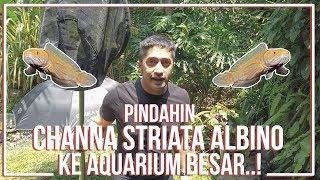 Video PINDAHIN CHANNA STRIATA ALBINO KE AQUARIUM BARU..! MP3, 3GP, MP4, WEBM, AVI, FLV April 2019