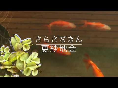 動画で金魚『更紗地金(さらさぢきん)』を紹介
