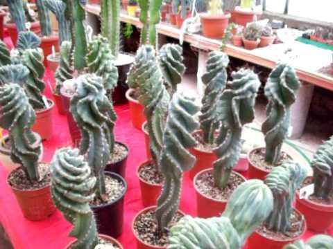 myrtillocactus crestato coltivazione e curiosità