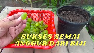 Video SUKSES SEMAI ANGUR DARI BIJI, Cepat Berbuah !!? !HOW TO PLANT GRAPES from seed MP3, 3GP, MP4, WEBM, AVI, FLV Juni 2019
