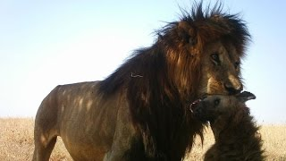 ► LIONS KILLING AND EATING HYENA - REALLY WILD ANIMALS | HD