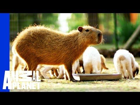 cheesecake-un-capibara-come-mamma-per-i-cuccioli-del-rifugio