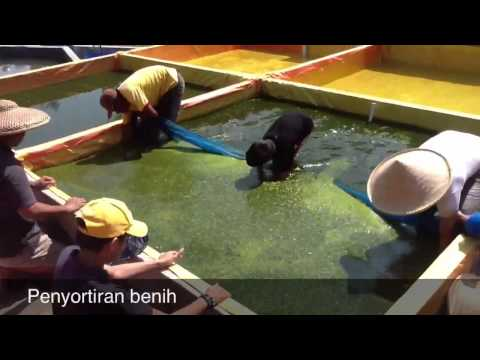 Pembenihan lele sangkuriang (Sangkuriang Sakti Video Profil