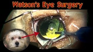 Watson's Eye Surgery: Dog Cataract Surgery (no Blood) - Please Share.
