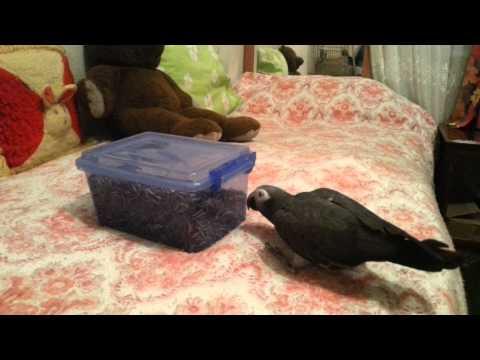 Paşa'm acıkmış :) ( African gray parrot Timneh )