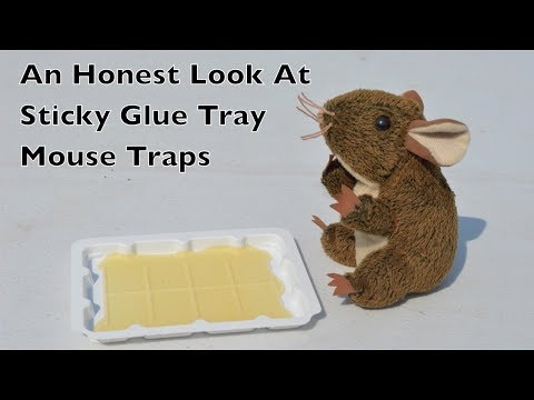 An Honest Look At Sticky Glue Tray Mouse Traps.