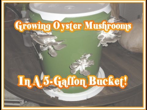 Growing Oyster Mushrooms in a 5-Gallon Bucket!