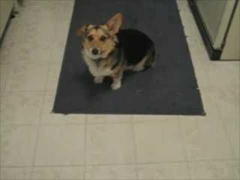 Dog Only Responds to British Accent.