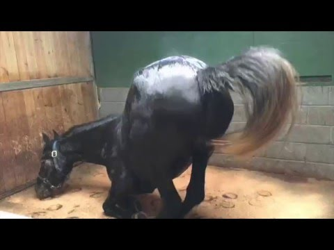 Download Training a Friesian x Orlov Trotter horse to drive confidently HD Mp4 3GP Video and MP3