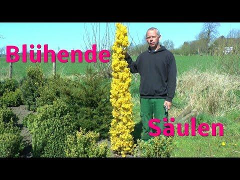 Blühende Säulen, ganz einfach selber ziehen