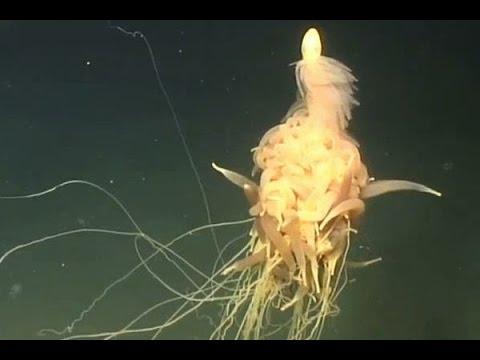 科學家在深海中發現從未見過的「會飛的麵條怪物」,不但形狀怪異長度還超越了世界上最大的動物!