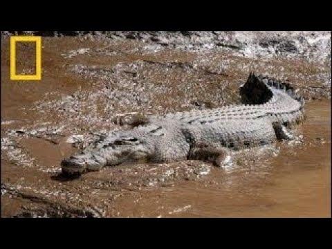 Documentary National Geographic Wild Crocodile King Nat Geo Wild
