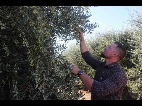 2017 olive harvest for oil production
