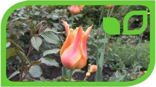 Das Rosarium der Tulpen