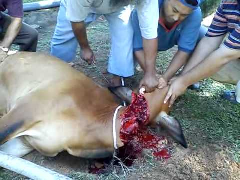 sembelih lembu - This video was uploaded from an Android phone.