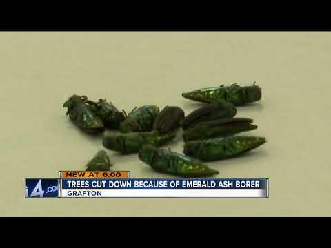 Trees cut down due to emerald ash borer