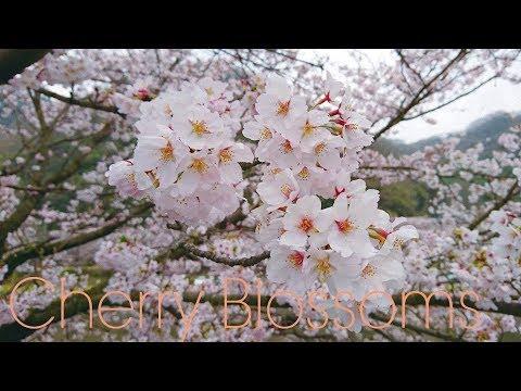 IBARA   Cherry Blossom Tunnel