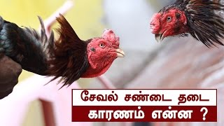 Video Reasons behind Rooster fight ban in TN|The complete story MP3, 3GP, MP4, WEBM, AVI, FLV Oktober 2018