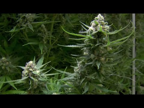 Kanada: Die Mehrheit kauft Cannabis weiterhin beim De ...