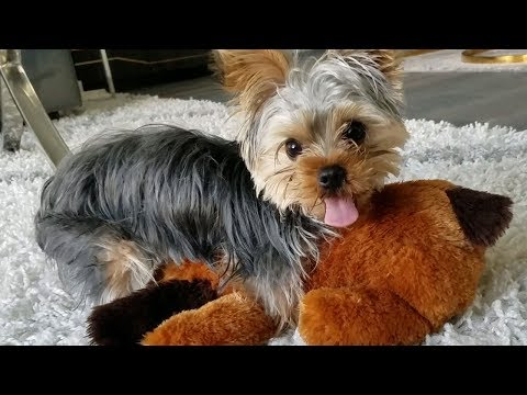 Trying to Distract a Yorkie Puppy From Humping a Stuffed Animal