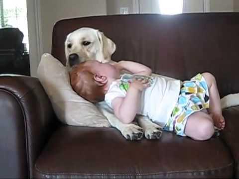 la dolcezza del labrador che acudisce un bimbo