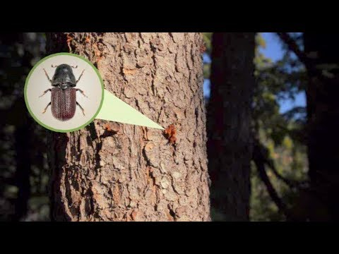 Forest Threats: Insects