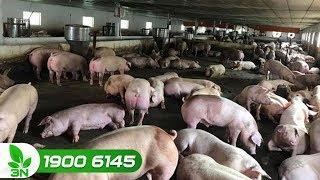 Nông nghiệp | Chủ động ngăn chặn bệnh dịch tả lợn châu Phi vào Việt Nam