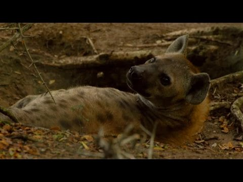 Female Dominance Over Male Hyenas | Animals In Love | BBC (видео)
