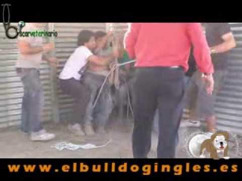Operación Avestruz Quedada elbulldogingles