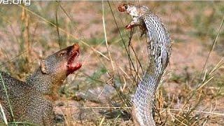 Video Mongoose vs Cobra, Snake fight Videos Compilation 2015 MP3, 3GP, MP4, WEBM, AVI, FLV Juli 2018