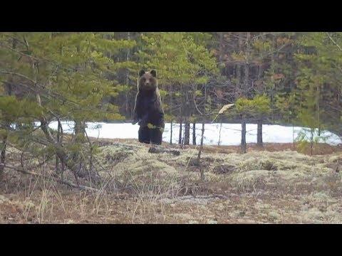 Медведи в Югре проснулись и начали выходить к людям - DomaVideo.Ru